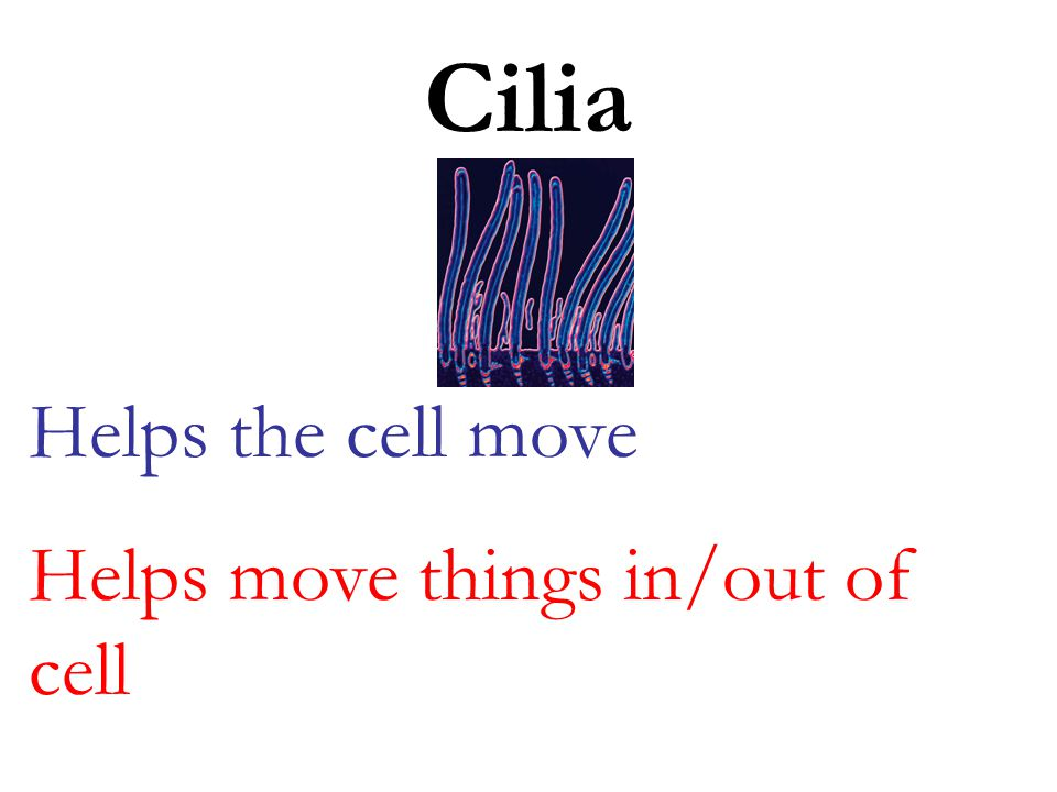 Cilia Helps the cell move Helps move things in/out of cell