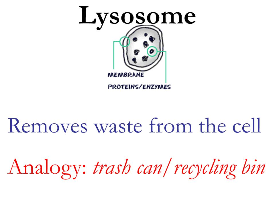 Lysosome Removes waste from the cell Analogy: trash can/recycling bin