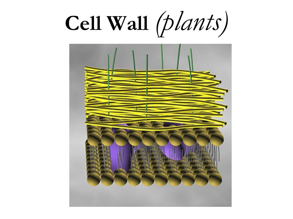 Cell Wall (plants)