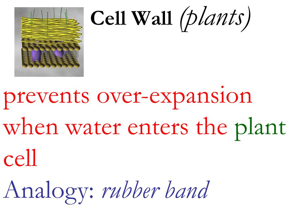 prevents over-expansion when water enters the plant cell