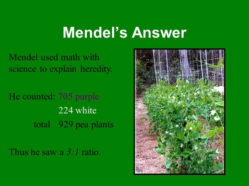Mendel's Answer Mendel used math with science to explain heredity.