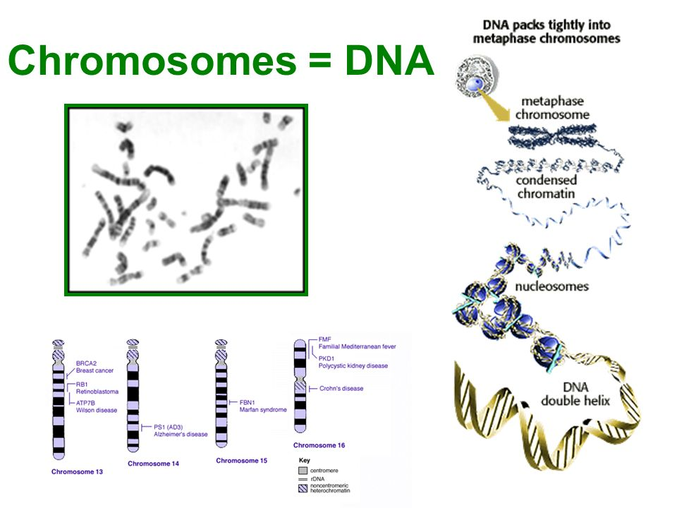 Chromosomes = DNA