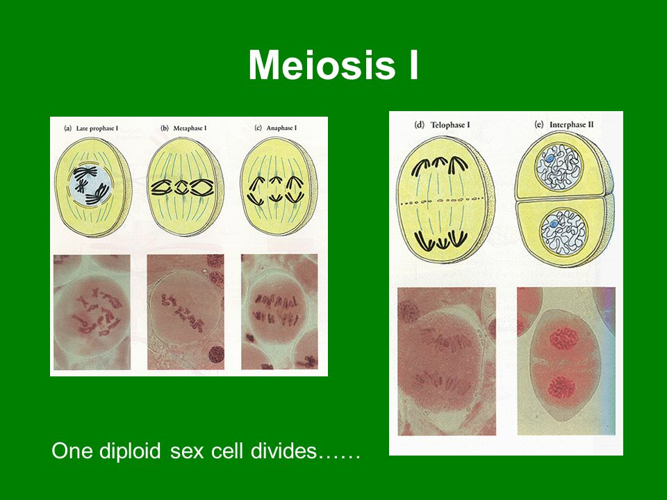 Meiosis I One diploid sex cell divides……