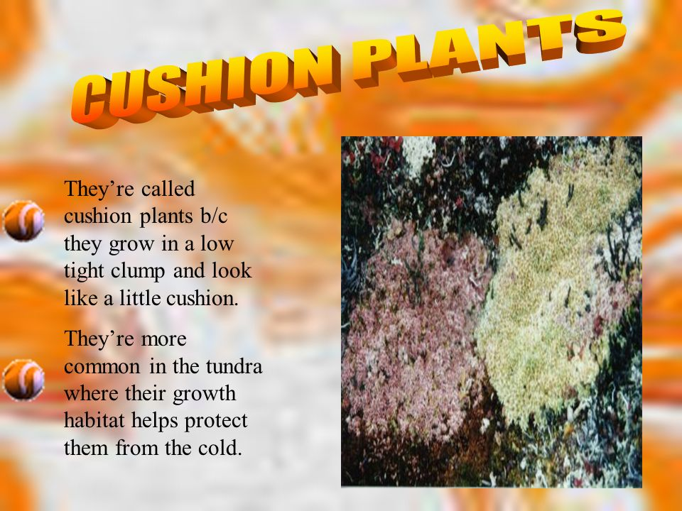 CUSHION PLANTS They're called cushion plants b/c they grow in a low tight clump and look like a little cushion.