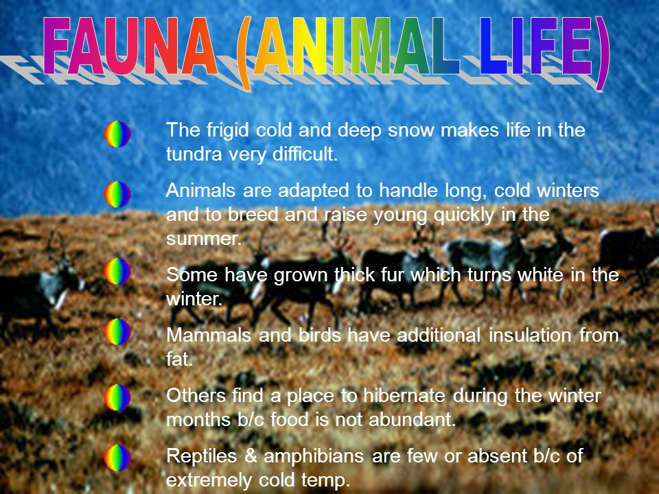 FAUNA (ANIMAL LIFE) The frigid cold and deep snow makes life in the tundra very difficult.