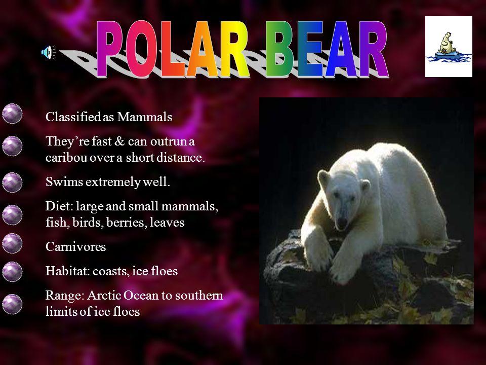 POLAR BEAR Classified as Mammals