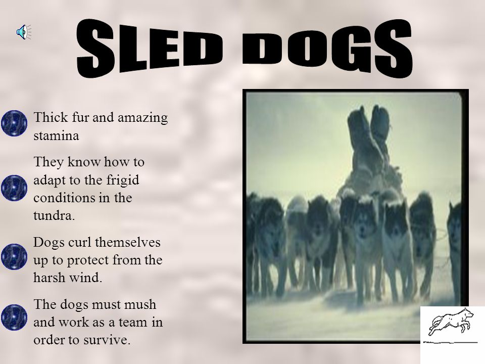 SLED DOGS Thick fur and amazing stamina