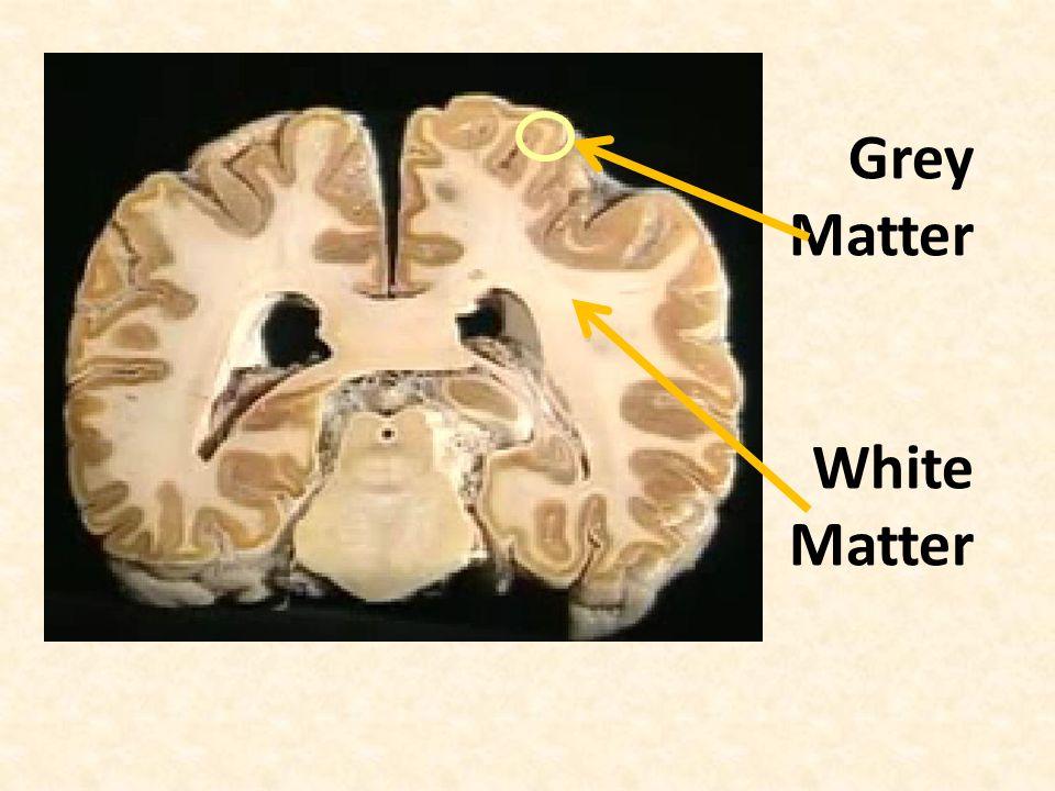 Grey Matter White Matter