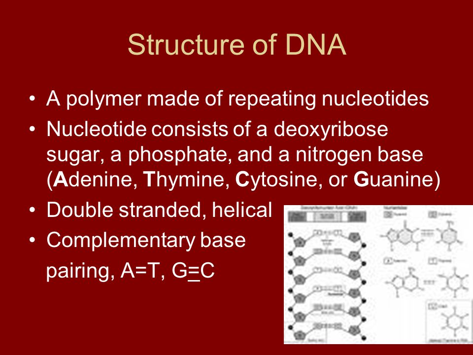 Structure of DNA A polymer made of repeating nucleotides