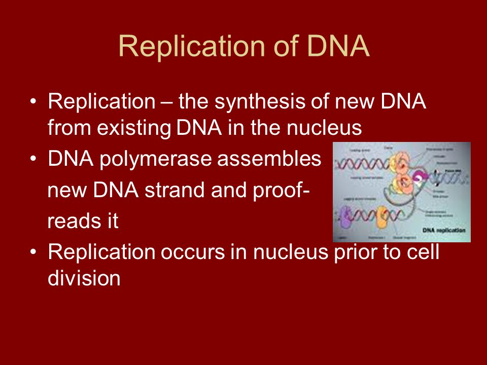 Replication of DNA Replication – the synthesis of new DNA from existing DNA in the nucleus. DNA polymerase assembles.
