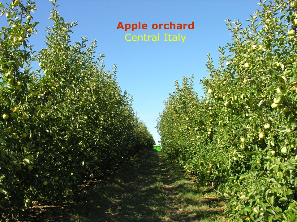 Apple orchard Central Italy