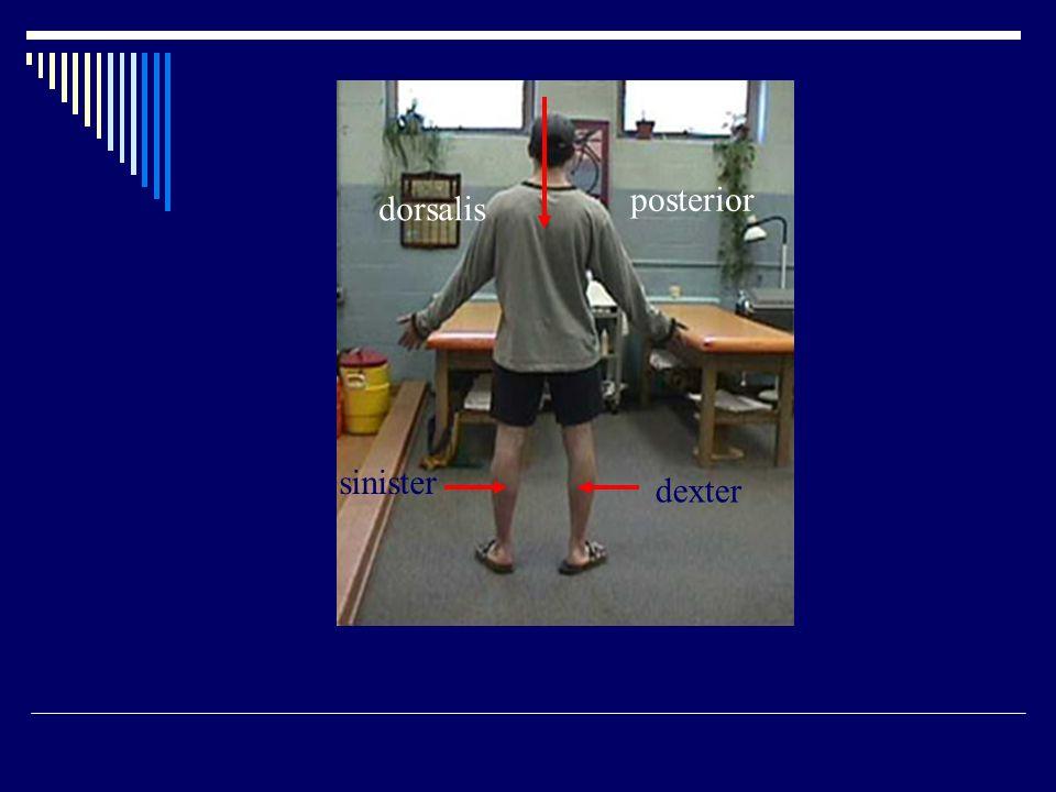 posterior dorsalis sinister dexter
