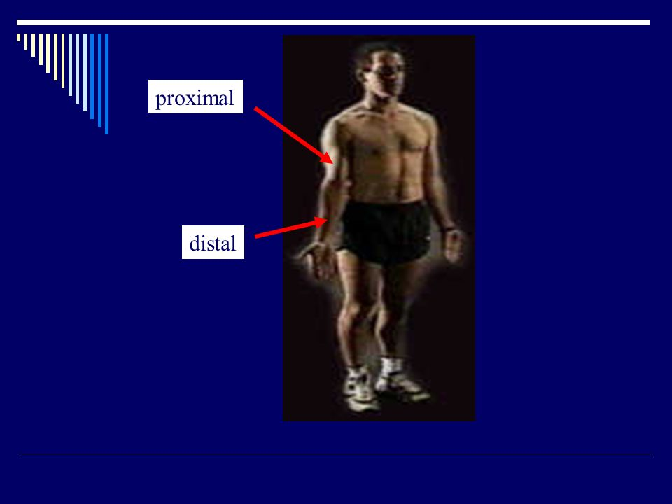 proximal distal