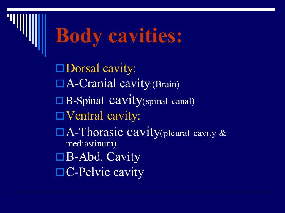 Body cavities: Dorsal cavity: A-Cranial cavity:(Brain) Ventral cavity: