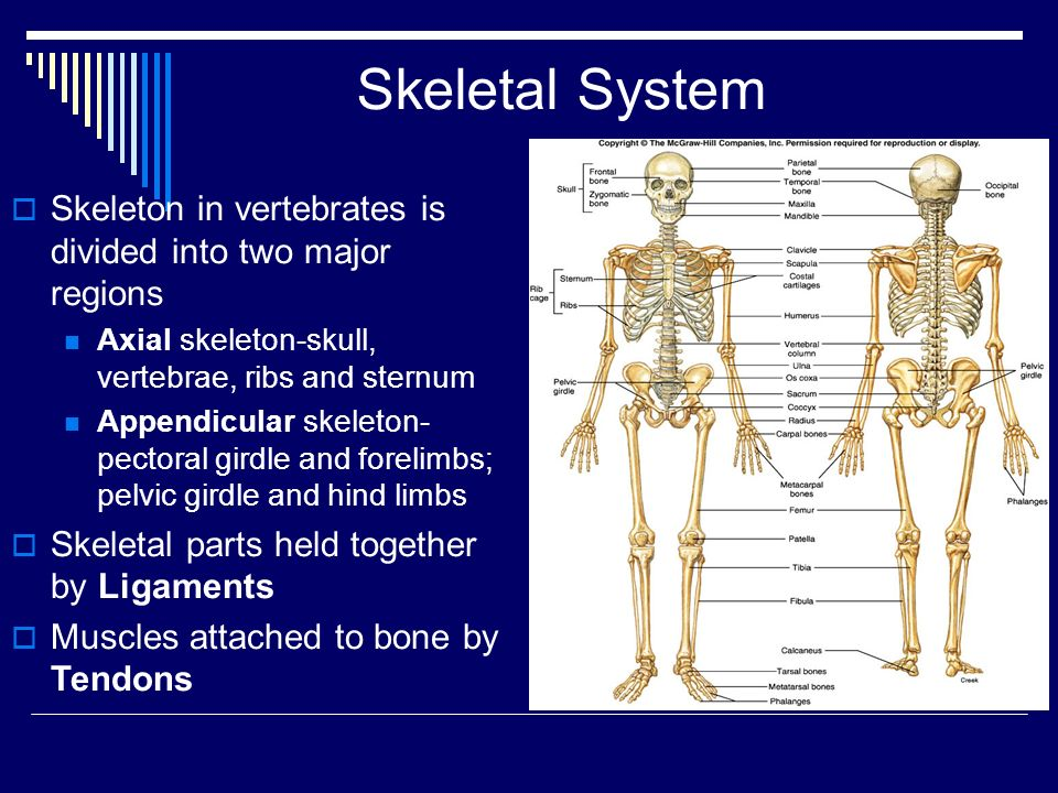 Skeletal System Skeleton in vertebrates is divided into two major regions. Axial skeleton-skull, vertebrae, ribs and sternum.