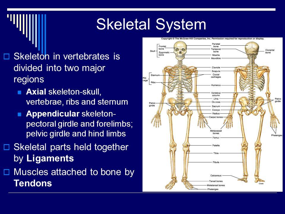Skeletal System Skeleton in vertebrates is divided into two major regions. Axial skeleton-skull, vertebrae, ribs and sternum.