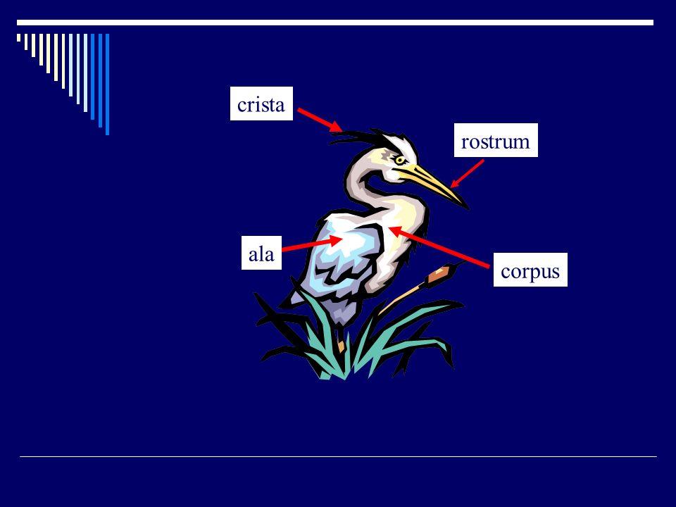 crista rostrum ala corpus