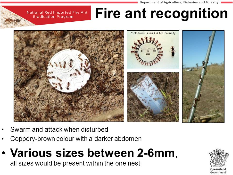 Fire ant recognition Photo from Texas A & M University.