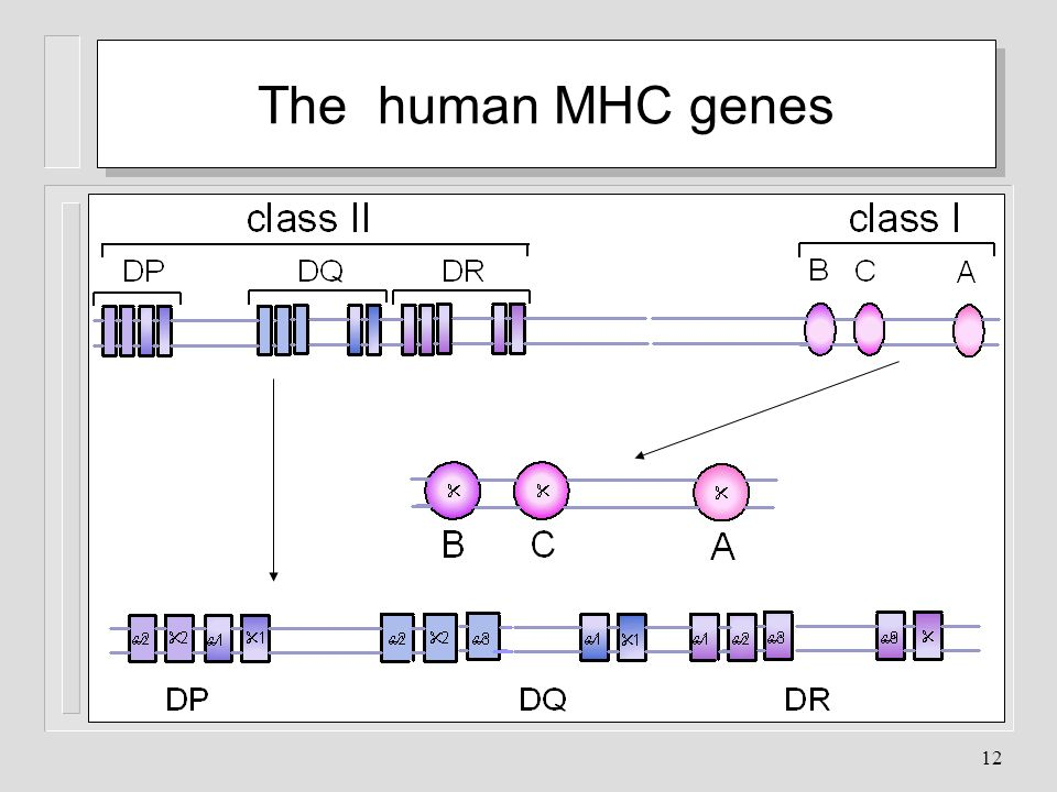 The human MHC genes The MHC GENE COMPLEX: