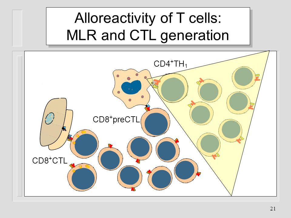 Alloreactivity of T cells: