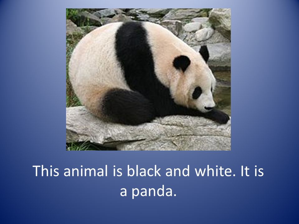 This animal is black and white. It is a panda.