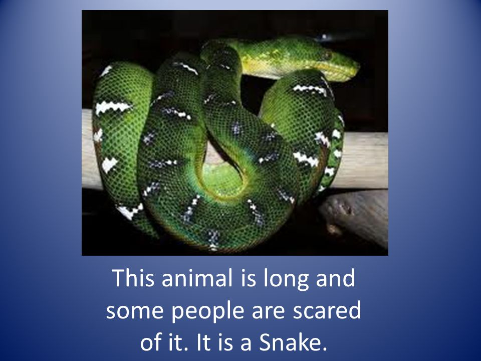 This animal is long and some people are scared of it. It is a Snake.