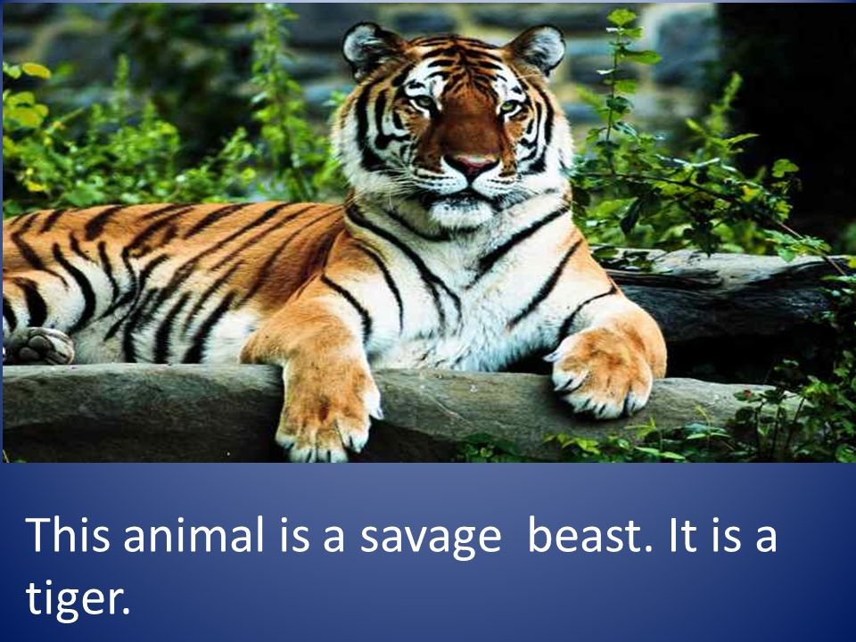 This animal is a savage beast. It is a tiger.