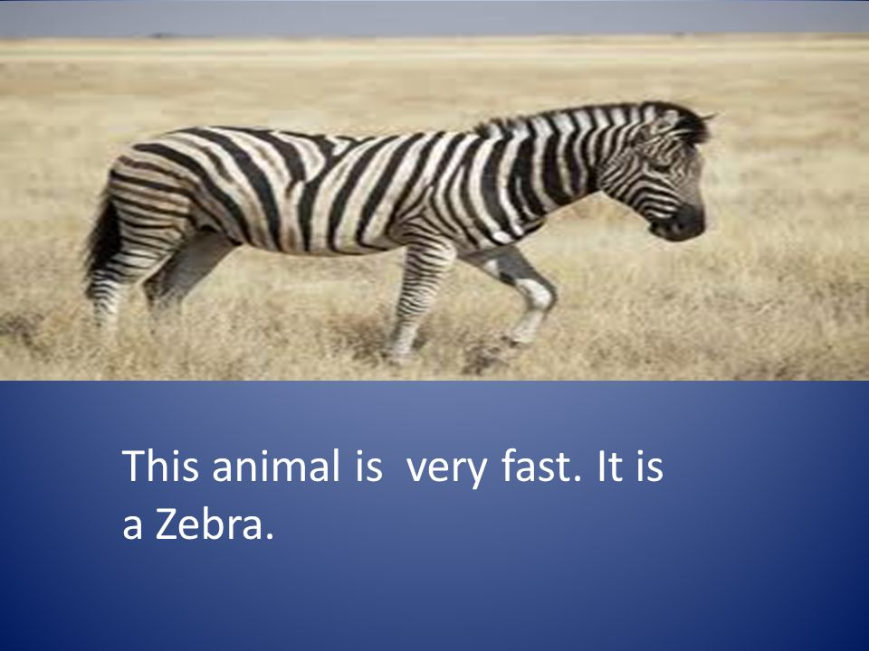 This animal is very fast. It is a Zebra.