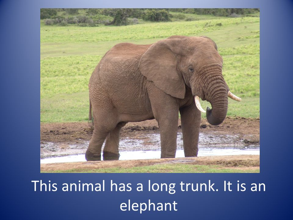 This animal has a long trunk. It is an elephant