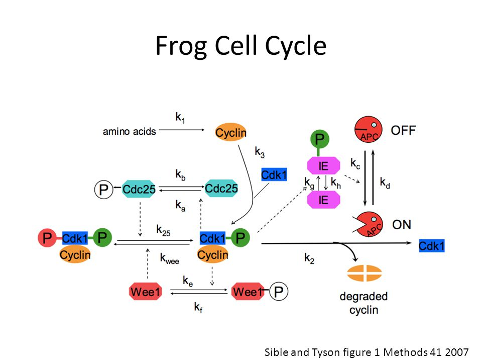 Frog Cell Cycle Sible and Tyson figure 1 Methods 41 2007