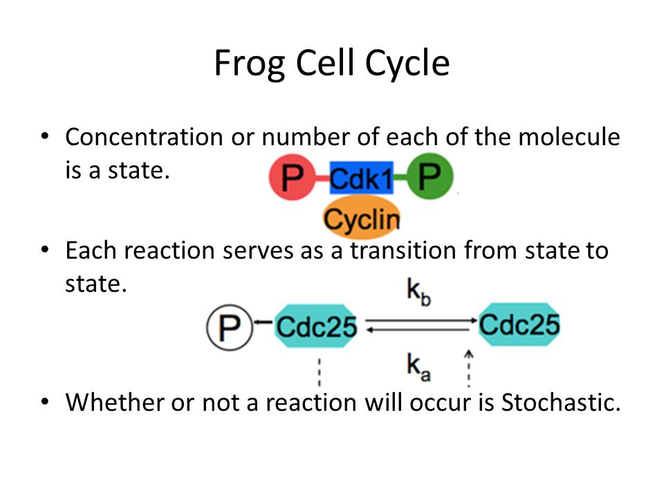 Frog Cell Cycle Concentration or number of each of the molecule is a state. Each reaction serves as a transition from state to state.