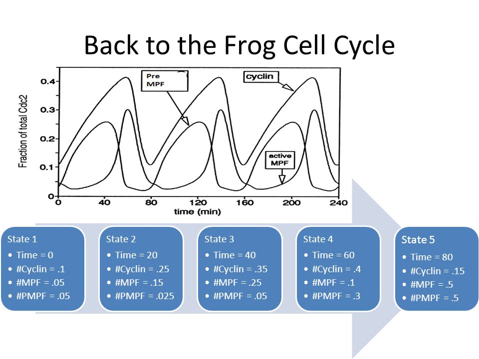 Back to the Frog Cell Cycle