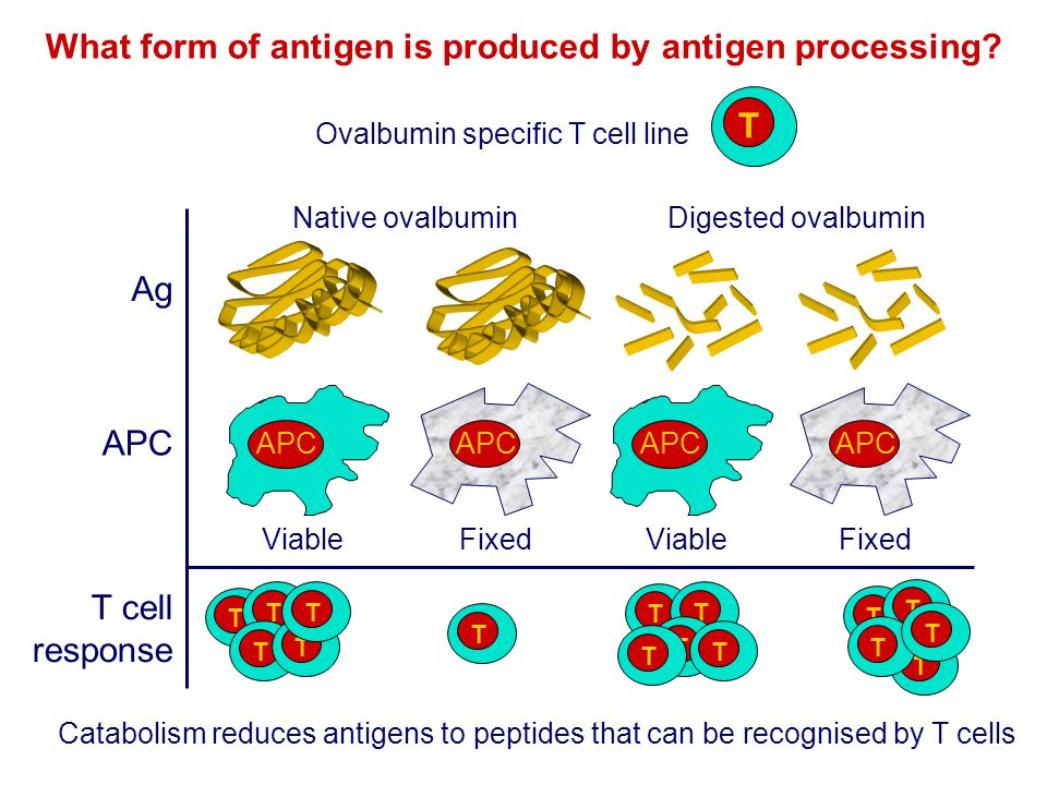 What form of antigen is produced by antigen processing