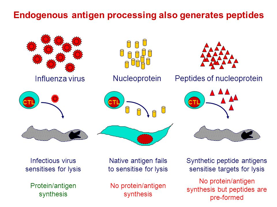 Endogenous antigen processing also generates peptides