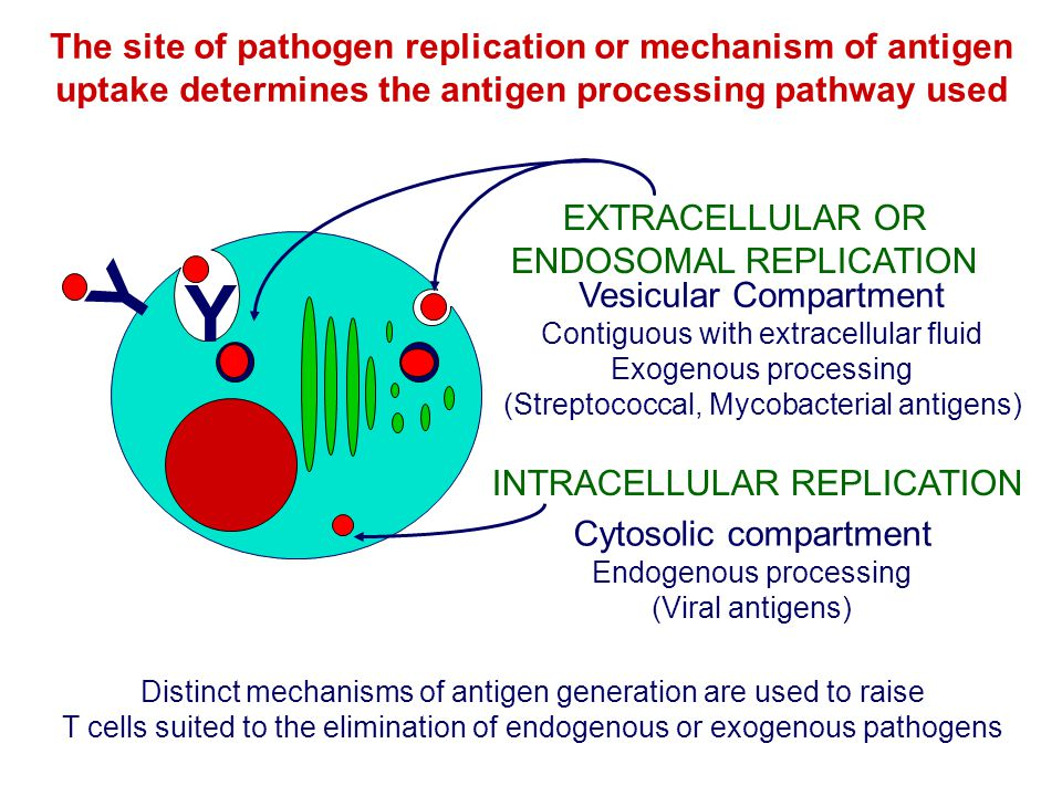 The site of pathogen replication or mechanism of antigen uptake determines the antigen processing pathway used