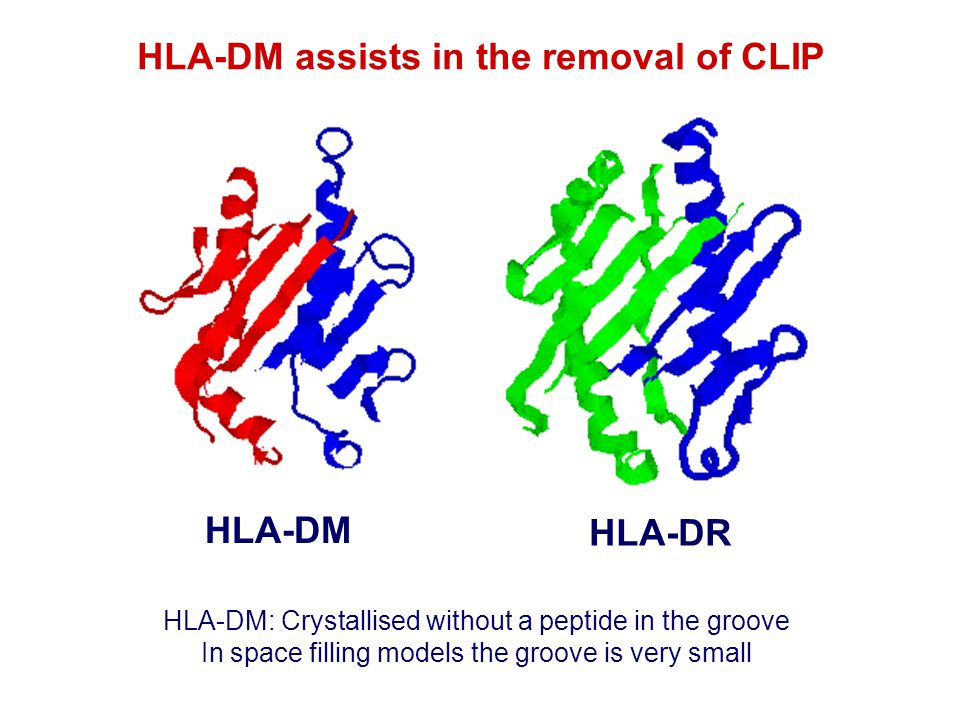 HLA-DM assists in the removal of CLIP