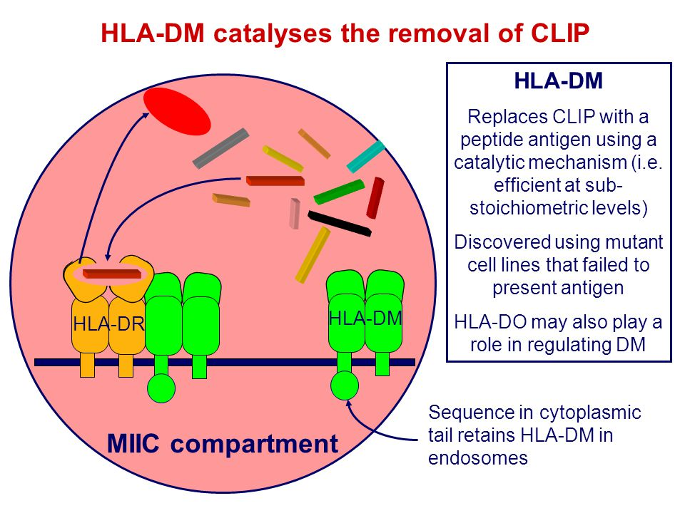 HLA-DM catalyses the removal of CLIP