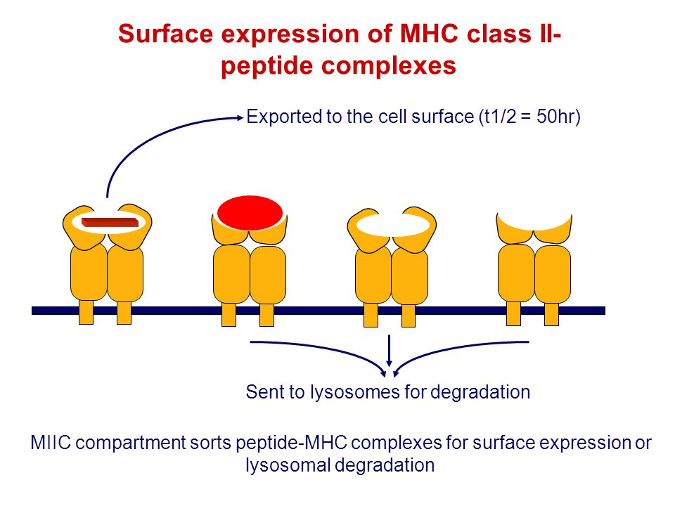 Surface expression of MHC class II-