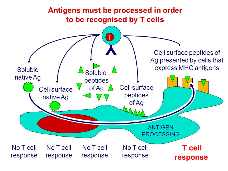 Antigens must be processed in order to be recognised by T cells