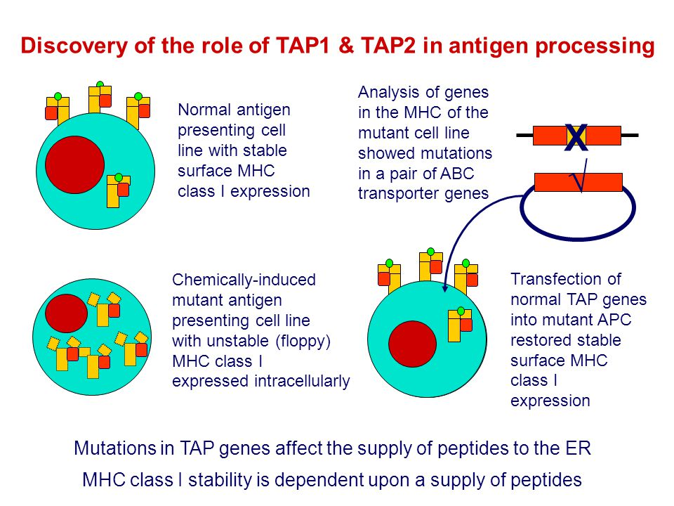 Discovery of the role of TAP1 & TAP2 in antigen processing