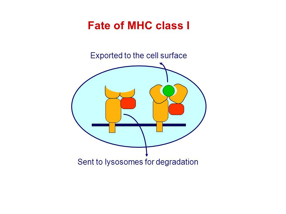 Fate of MHC class I Exported to the cell surface