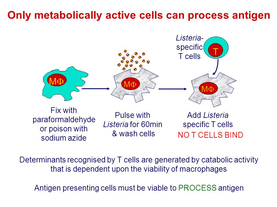 Only metabolically active cells can process antigen