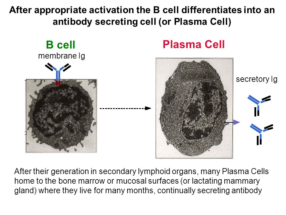 After appropriate activation the B cell differentiates into an antibody secreting cell (or Plasma Cell)
