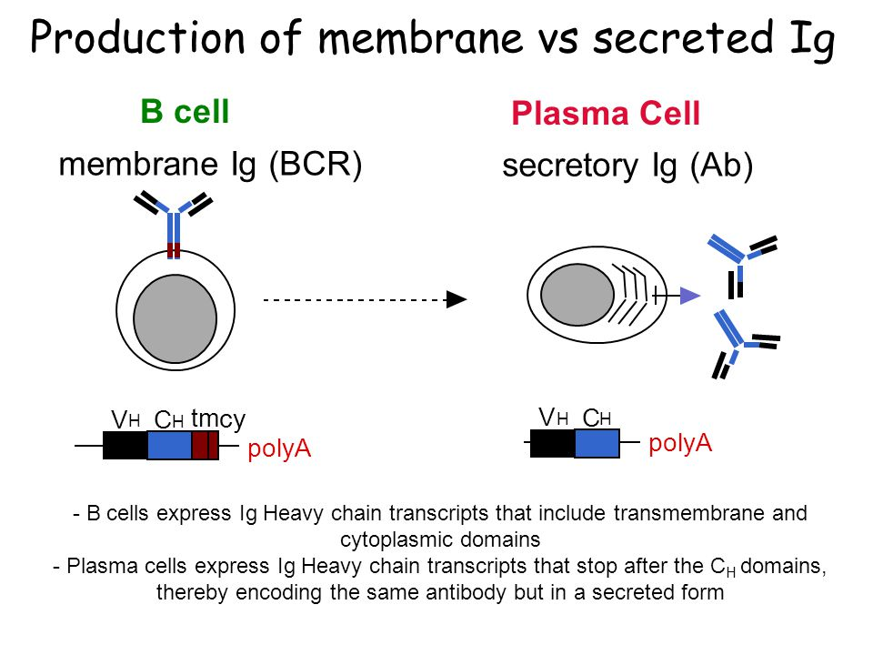 Production of membrane vs secreted Ig