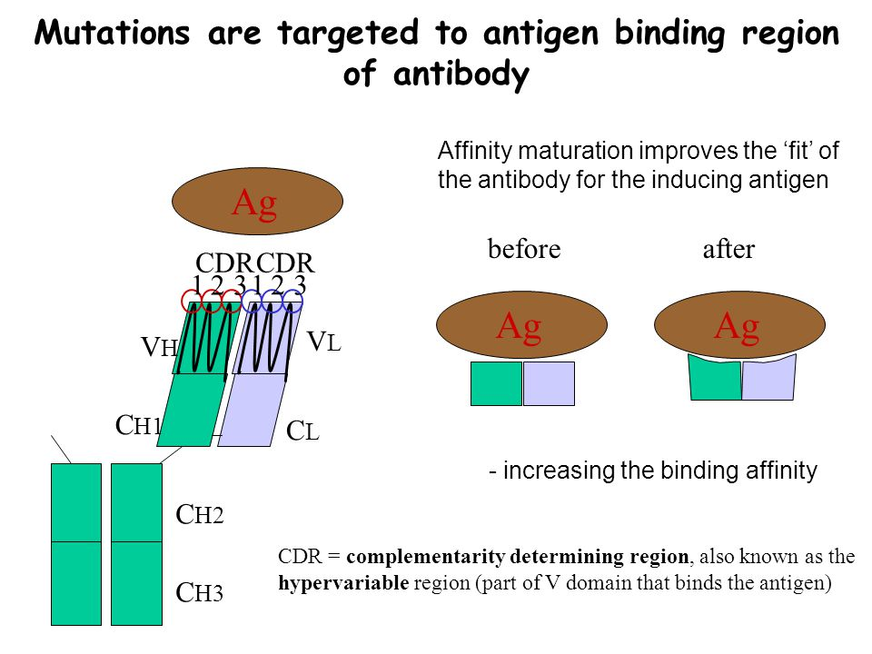 Mutations are targeted to antigen binding region of antibody