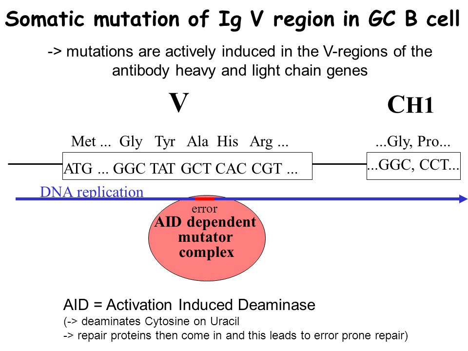 V CH1 Somatic mutation of Ig V region in GC B cell