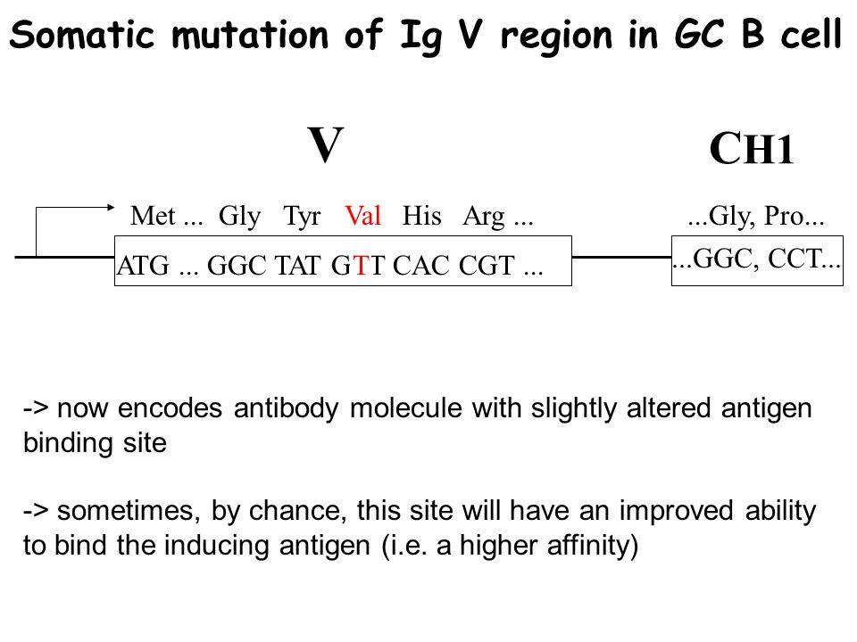 V CH1 Somatic mutation of Ig V region in GC B cell