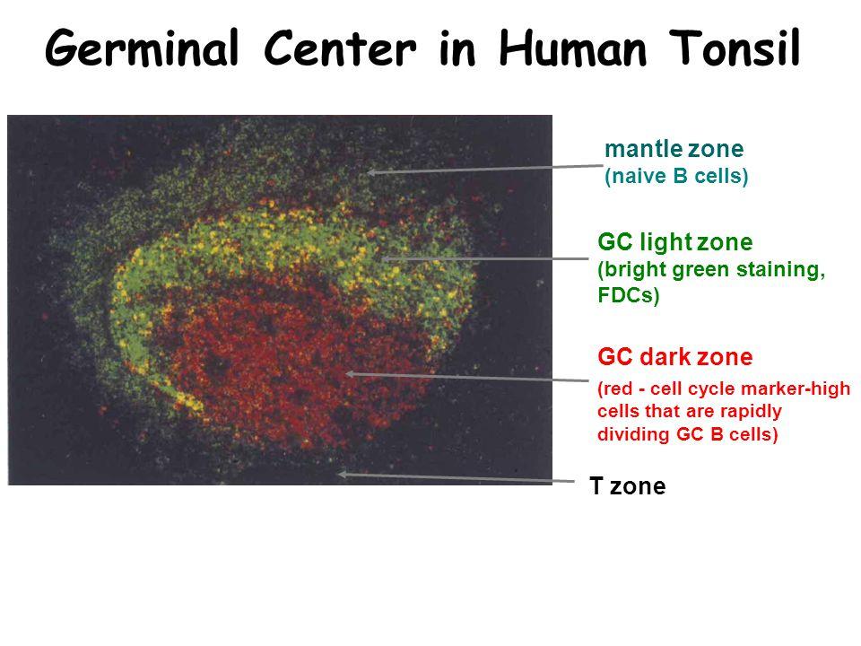Germinal Center in Human Tonsil