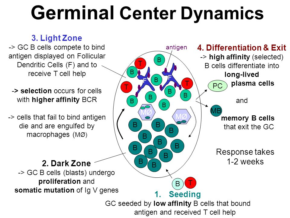 Germinal Center Dynamics