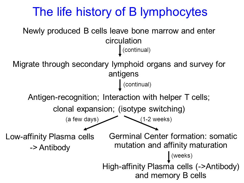 The life history of B lymphocytes